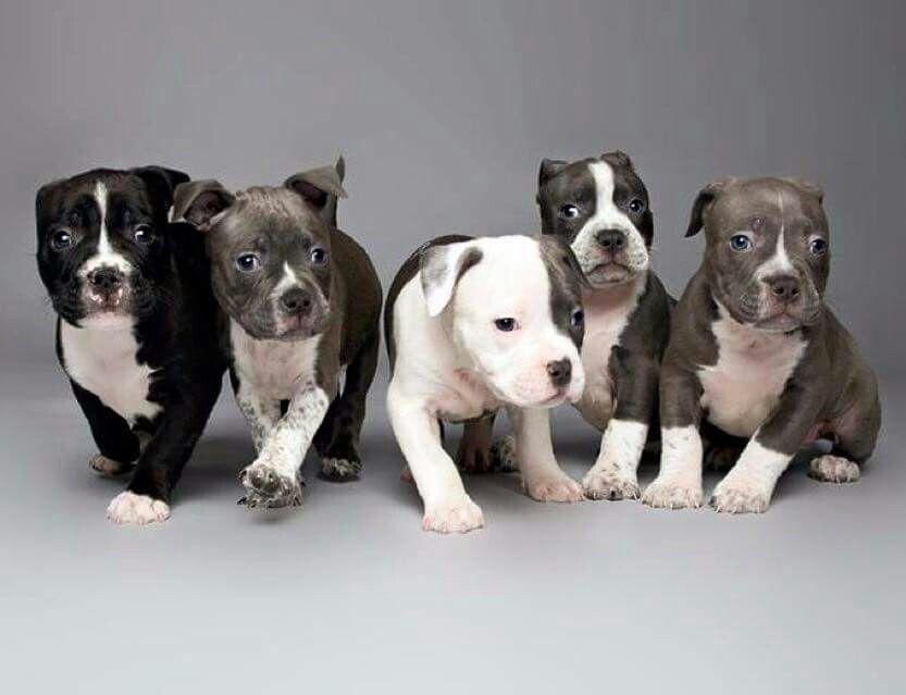 Xxl pitbull puppies for sale california