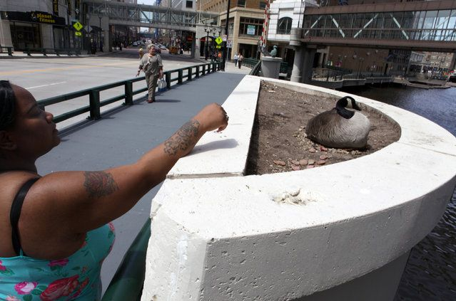 Bianca Chism, of Milwaukee feeds meat to a Canada goose that has taken up residence on near the Wisconsin Ave. Bridge on Tuesday, April 30, 2013. (Photo by Mike De Sisti) Jared Eisenhauer of Milwaukee takes a look at a goose nesting in a flower bed on the Wisconsin Ave. bridge, Friday, April 19, 2013. (Photo by Mike De Sisti) http://avaxnews.net/touching/Canada_Goose_Nests_on_Downtown_Milwaukee_Bridge.html #avaxnews.net #animals