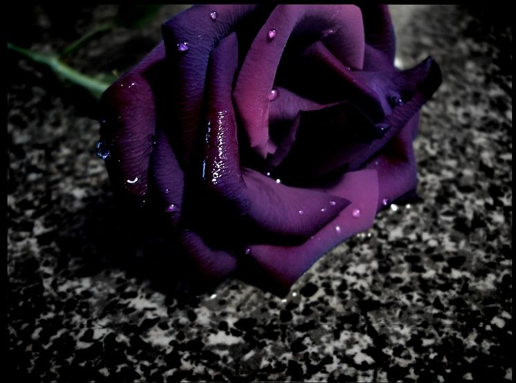 Dark_Rose_by_LadyArabella