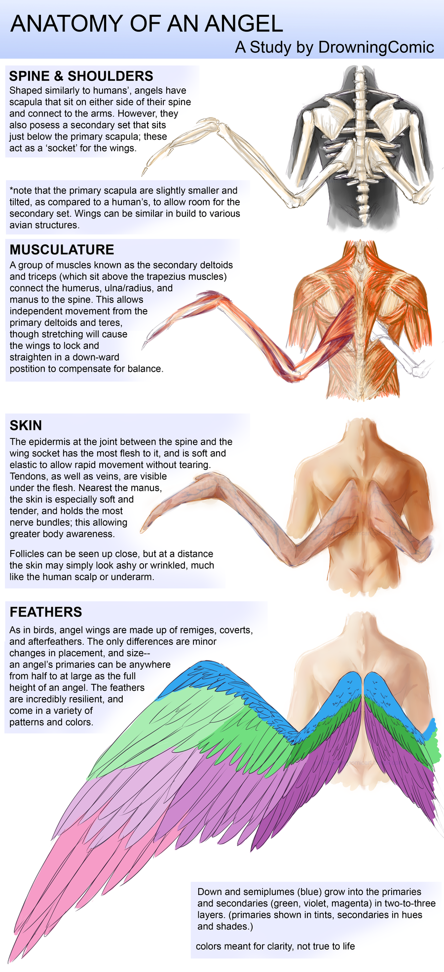 Anatomy Of An Angel By Dcroleplaysdeviantartcom On Deviantart Diagram Showing All The Muscles In A Chicken Wing Types Wings