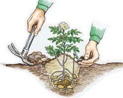 kartoffeln pflanzen und ernten | kartoffeln, kartoffeln pflanzen, Terrassen ideen