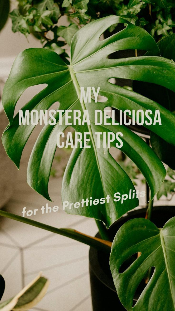 This post is jam-packed with my top tips for caring for your Monstera.