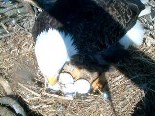 Another Live Eagle Cam - Sequoyah National Wildlife Refuge near Vian, Oklahoma (compare/contrast with Decorah Eagles?)