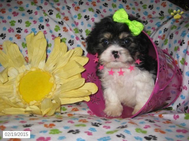 Cavashon Puppy For Sale In Ohio Http Www Buckeyepuppies Com