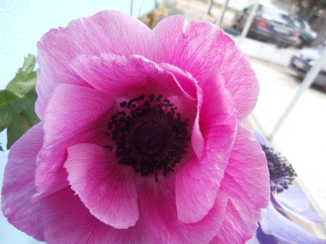 Pink Anemone Flowers Bulb Flowers Winter Flowers Flower Garden