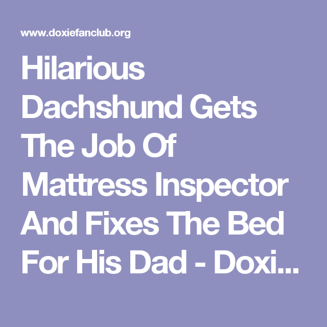 Hilarious Dachshund Gets The Job Of Mattress Inspector And Fixes The Bed For His Dad - Doxie Fan Club