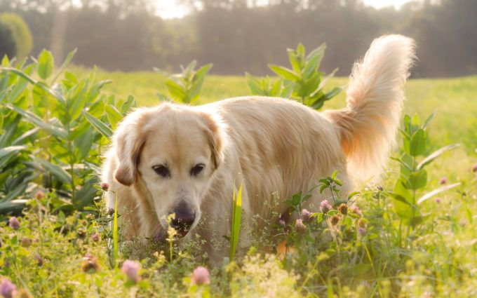 Golden Retriever Hd Wallpapers Download Pinterest Wallpaper