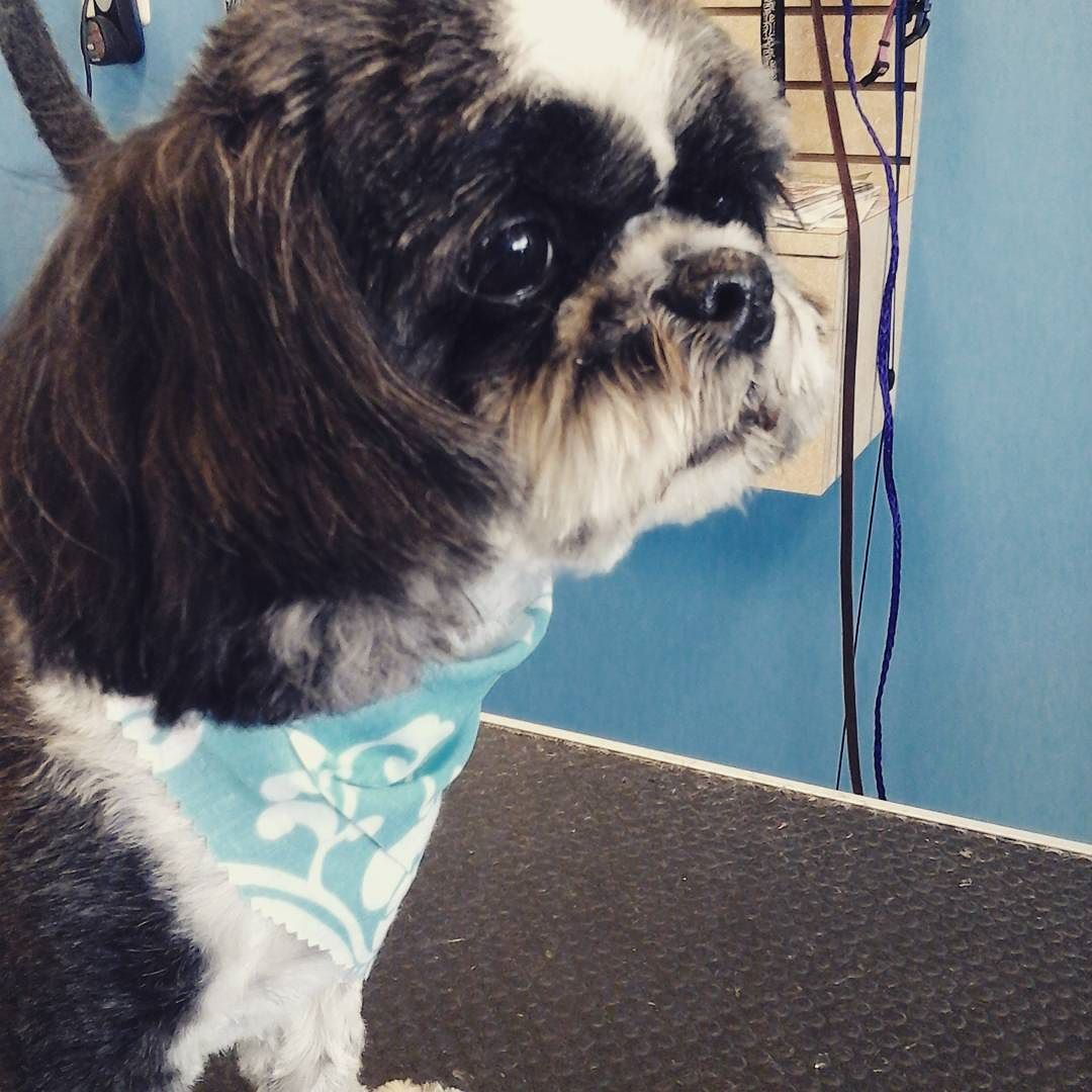Starting our week with pretty Miss Bunny  #tucsondoggrooming A well groomed dog is a well loved dog! Call us today to schedule your dog grooming appointment 520-744-7040
