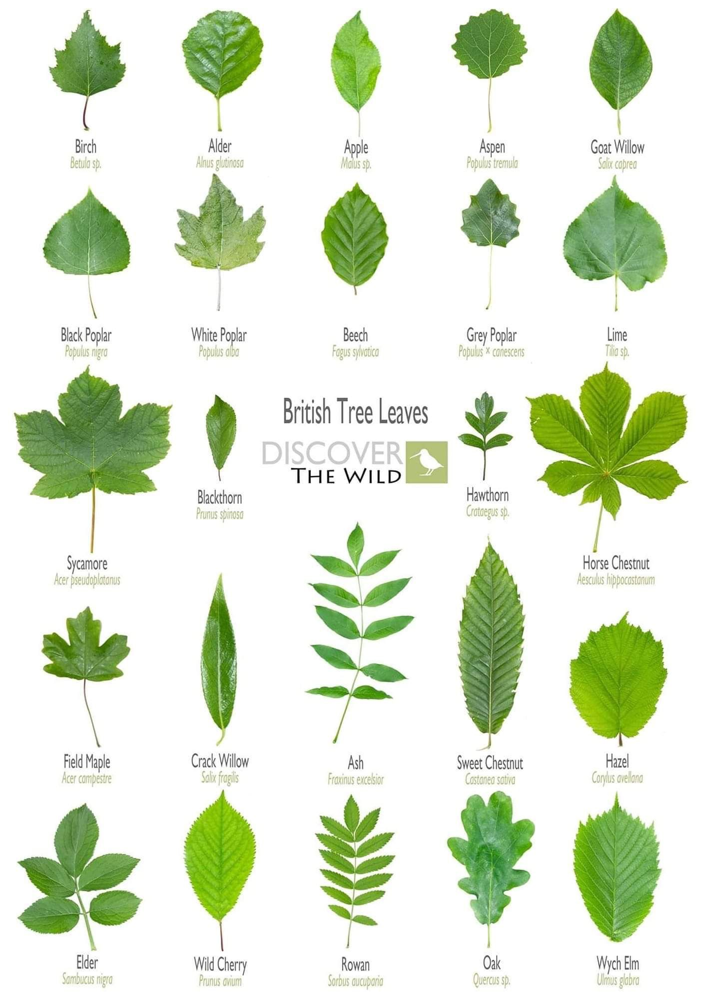 Leaf Shapes And Their Names In