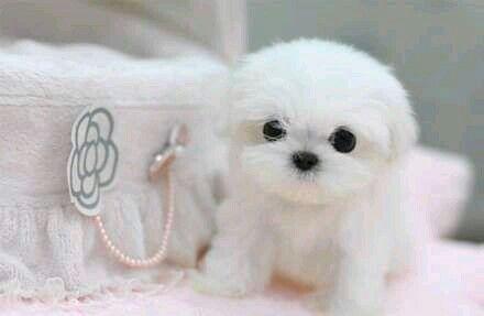 Maltese Puppy Teacup Puppies Cute Baby Animals Cute Animals