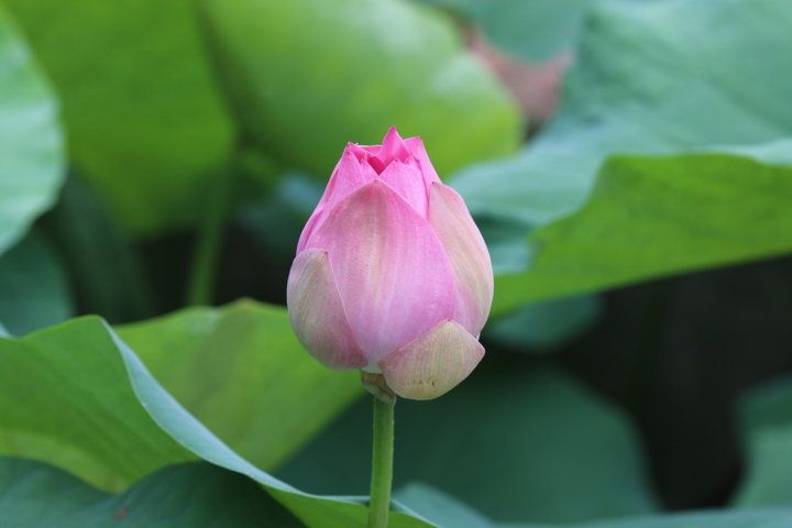Summer time. Vietnam lotus blossom