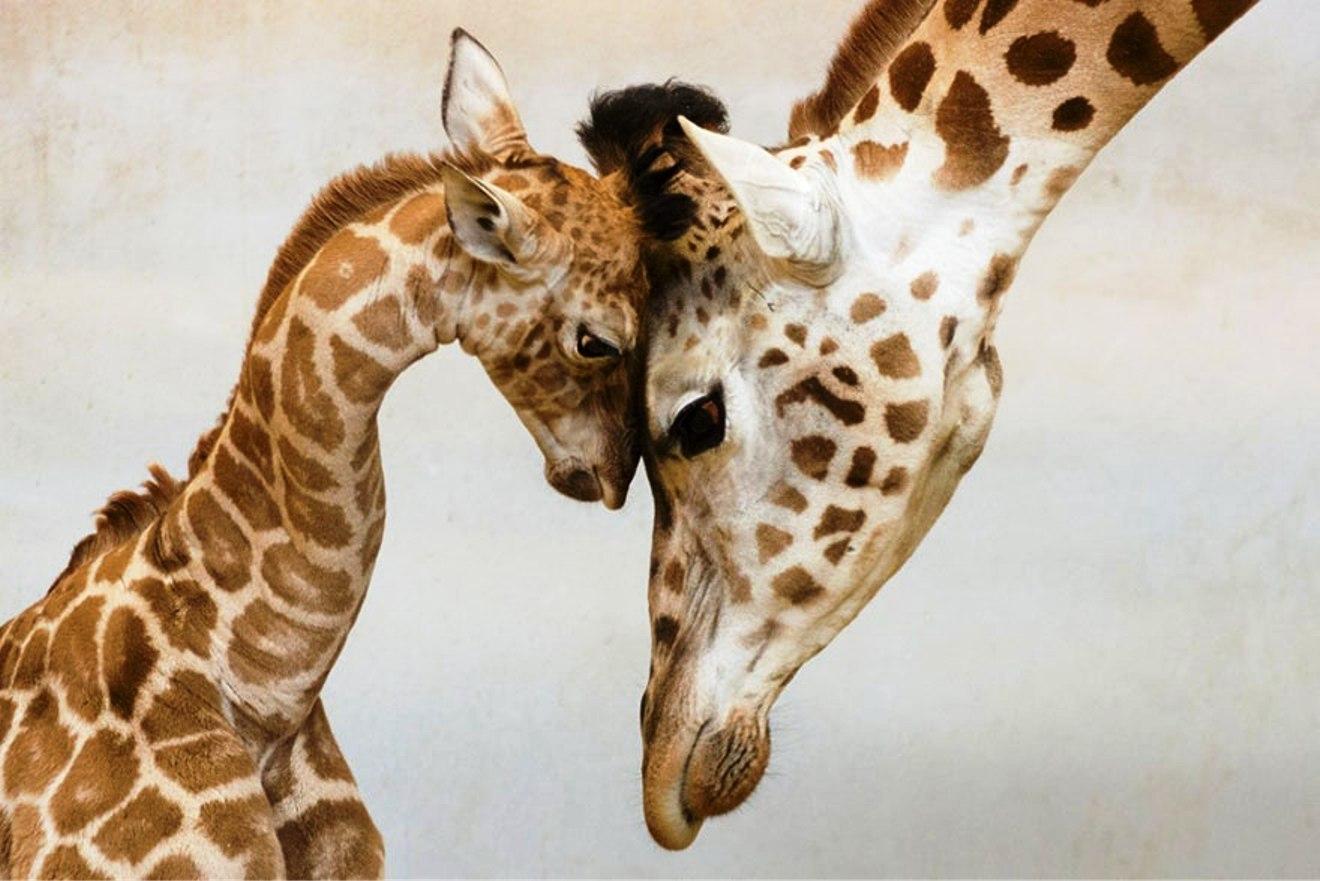 Giraffes: Jan Pelcman