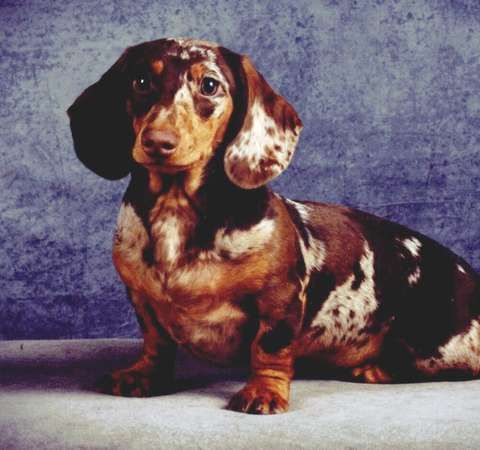 I Am Handsome Pretty Speckled Doxie Darlin Baby