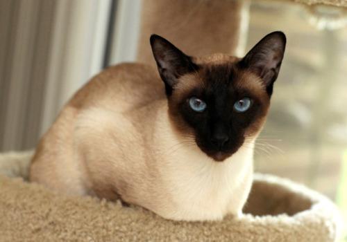 bluestar Siamese cats, Siamese, Cat with blue eyes