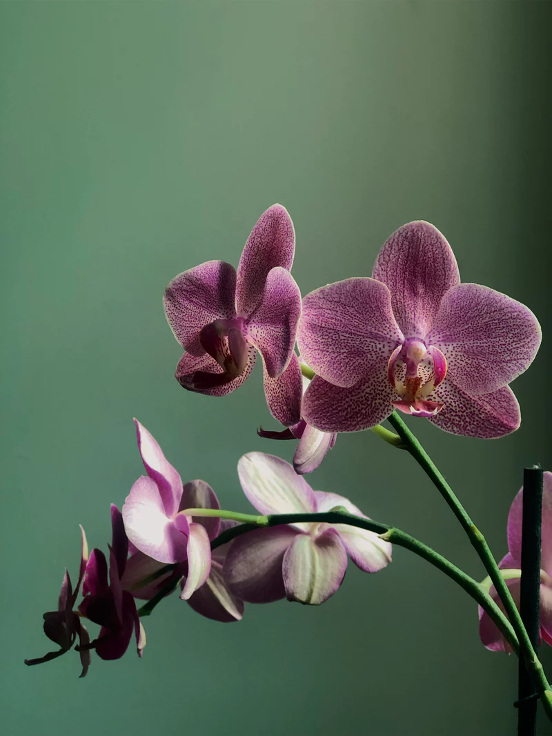 500 Orchid Pictures Download Free Images Stock Photos On Unsplash Orchid Wallpaper Orchids Wild Orchid