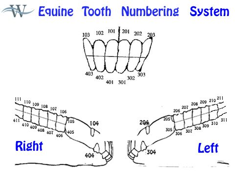 Equine Tooth Numbering System www.woodsideequineclinic.com   Equine ...