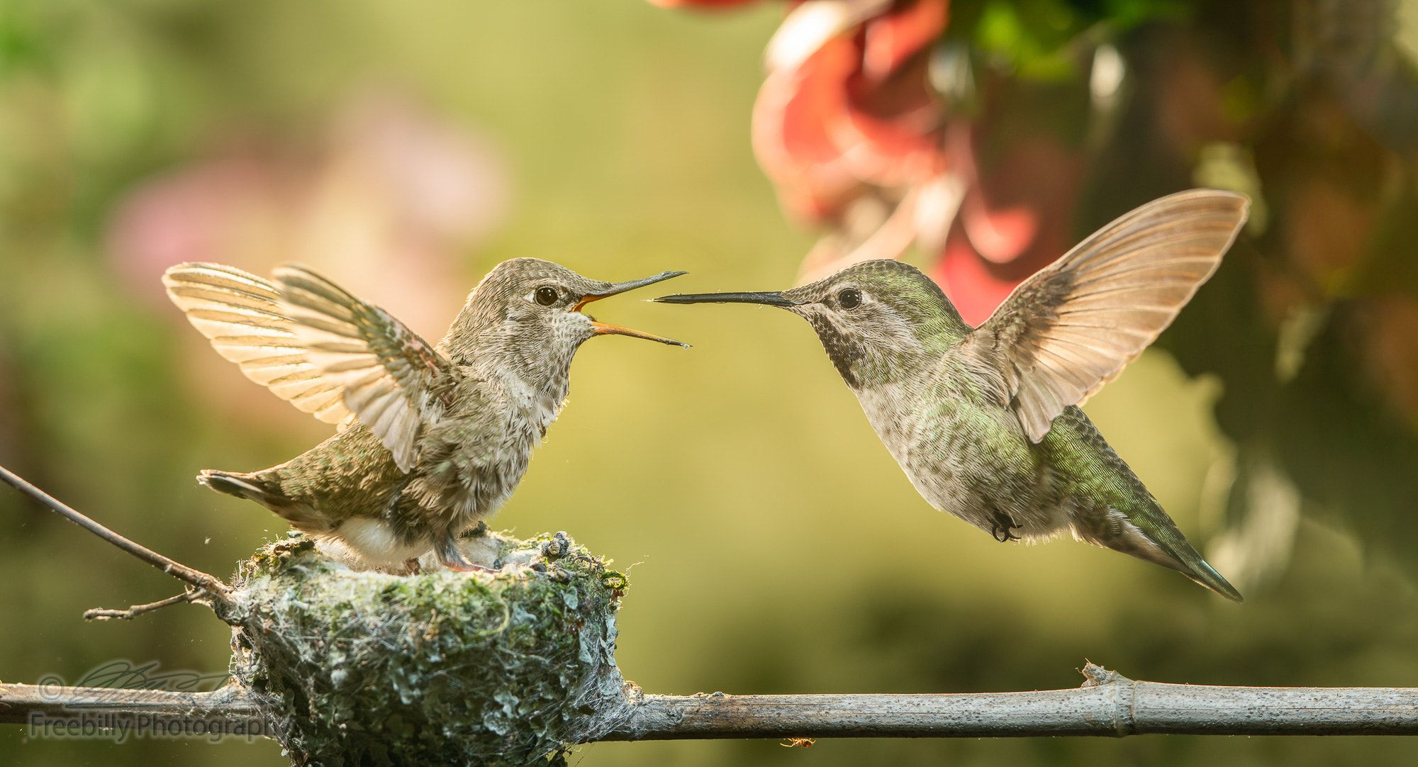Baby Hummingbird Open Mouth For Food From Mother This Is A Photograph Of A Baby Hummingbird Opening Mouth For Food Baby Hummingbirds Hummingbird Baby Feeding