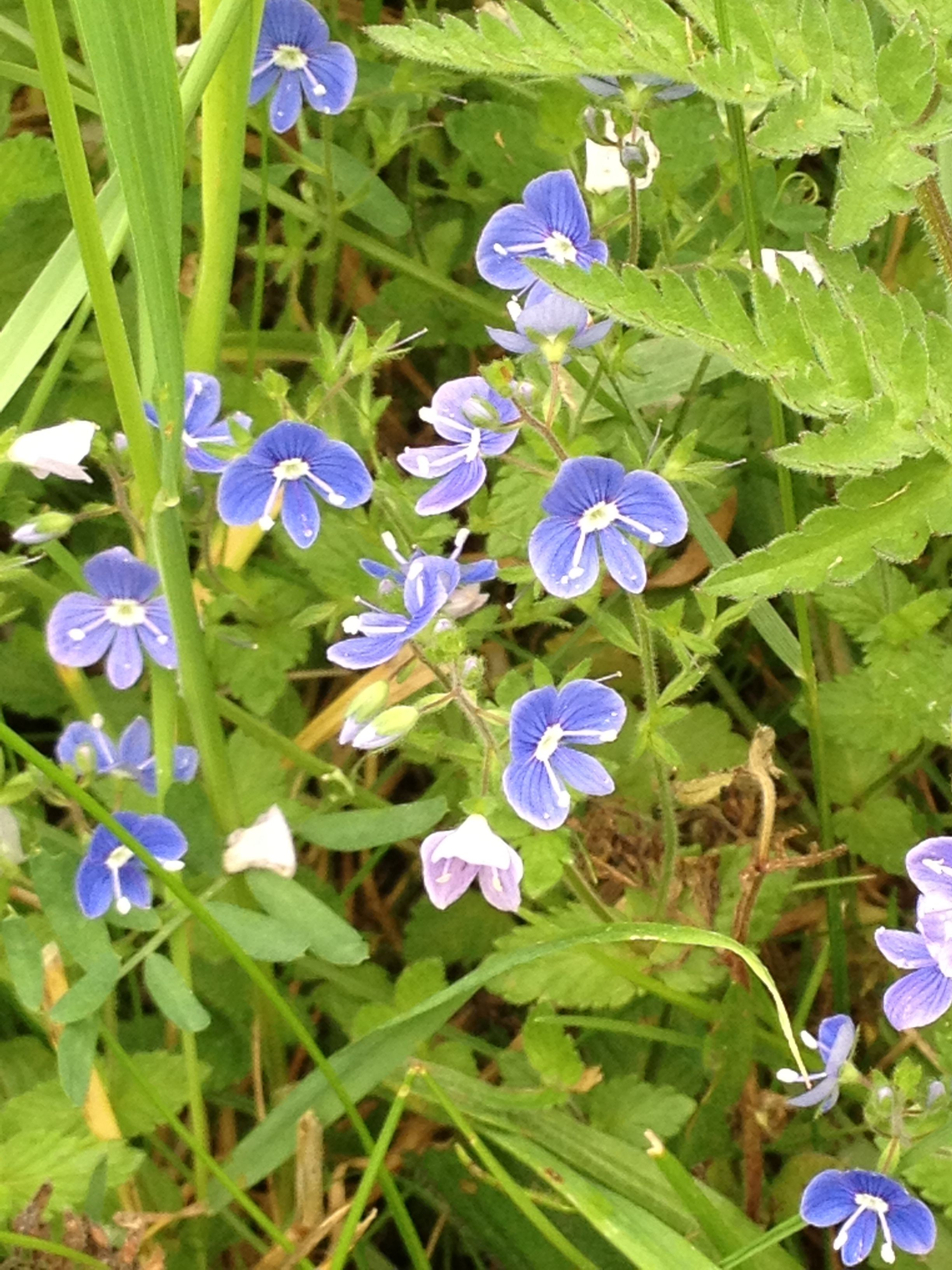 Speedwell One Of The First Plants To Pop Back Up This Spring