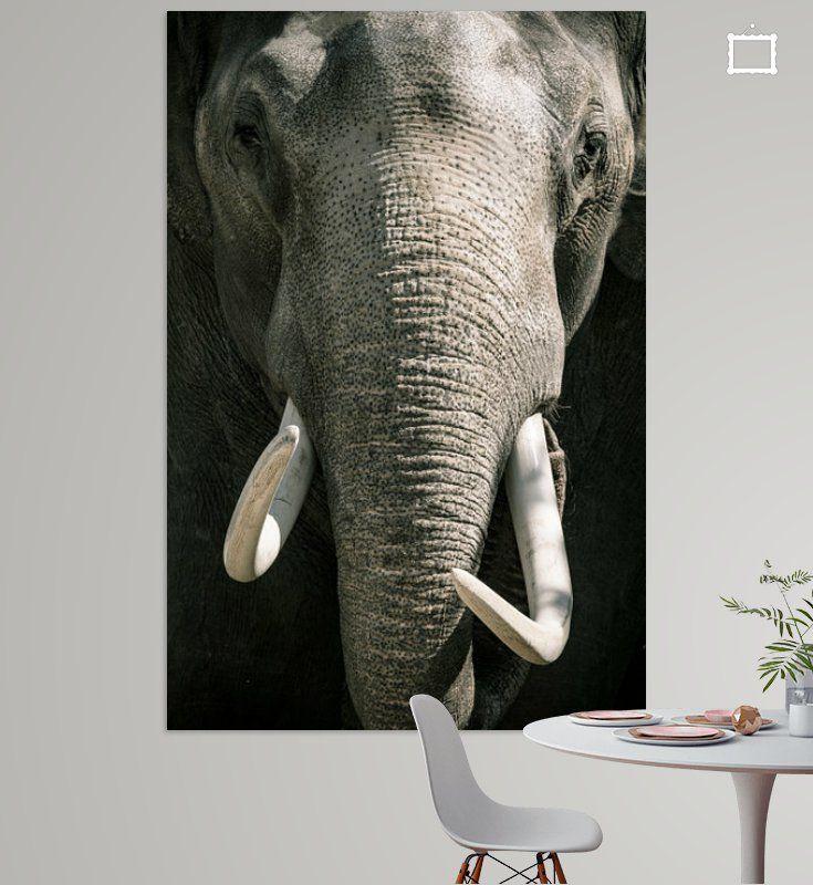 Aziatische Olifant Met Grote Witte Slagtanden Close Up