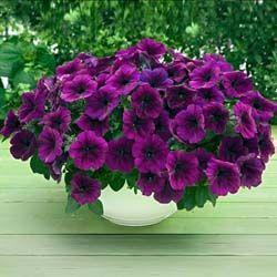 Petunia Trilogy Deep Purple F1 Purple Petunias Petunias Flower
