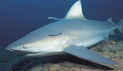 Go Top 10: 10 Most Endangered Sharks in the World