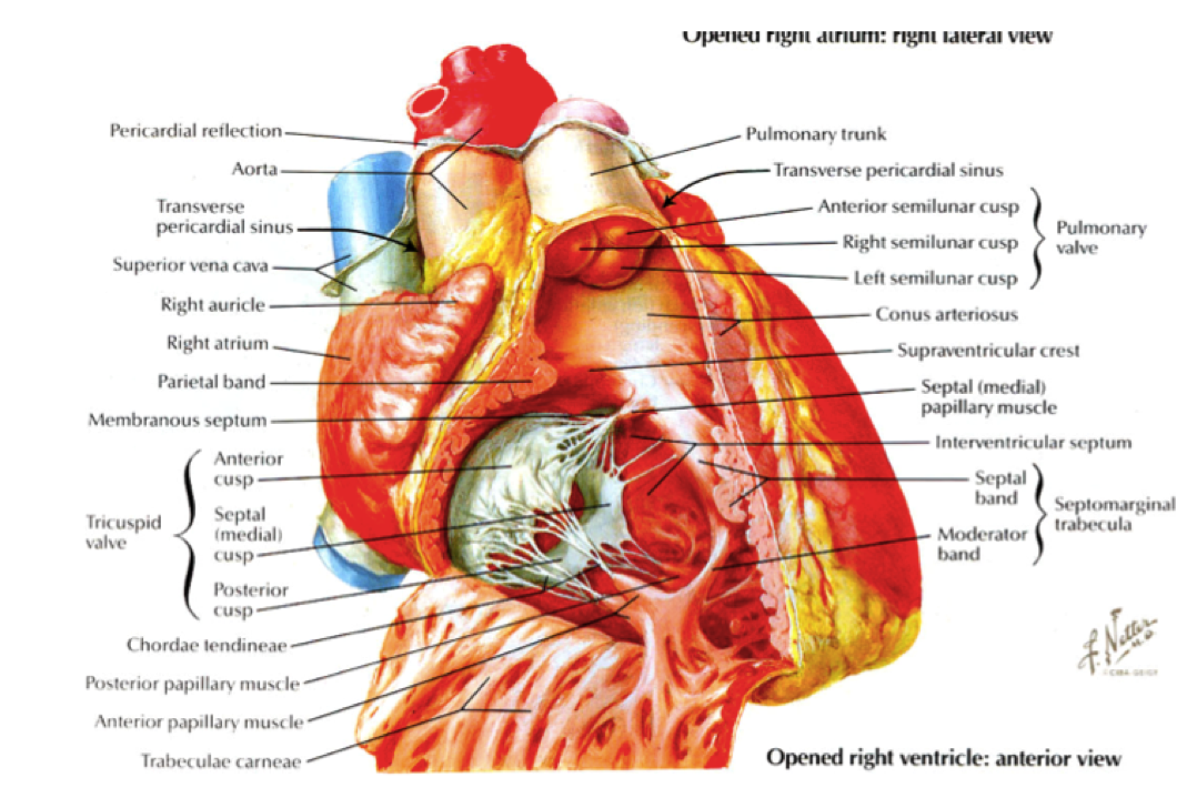 Tricuspid Valve Papillary Muscles Septal Google Search Medical