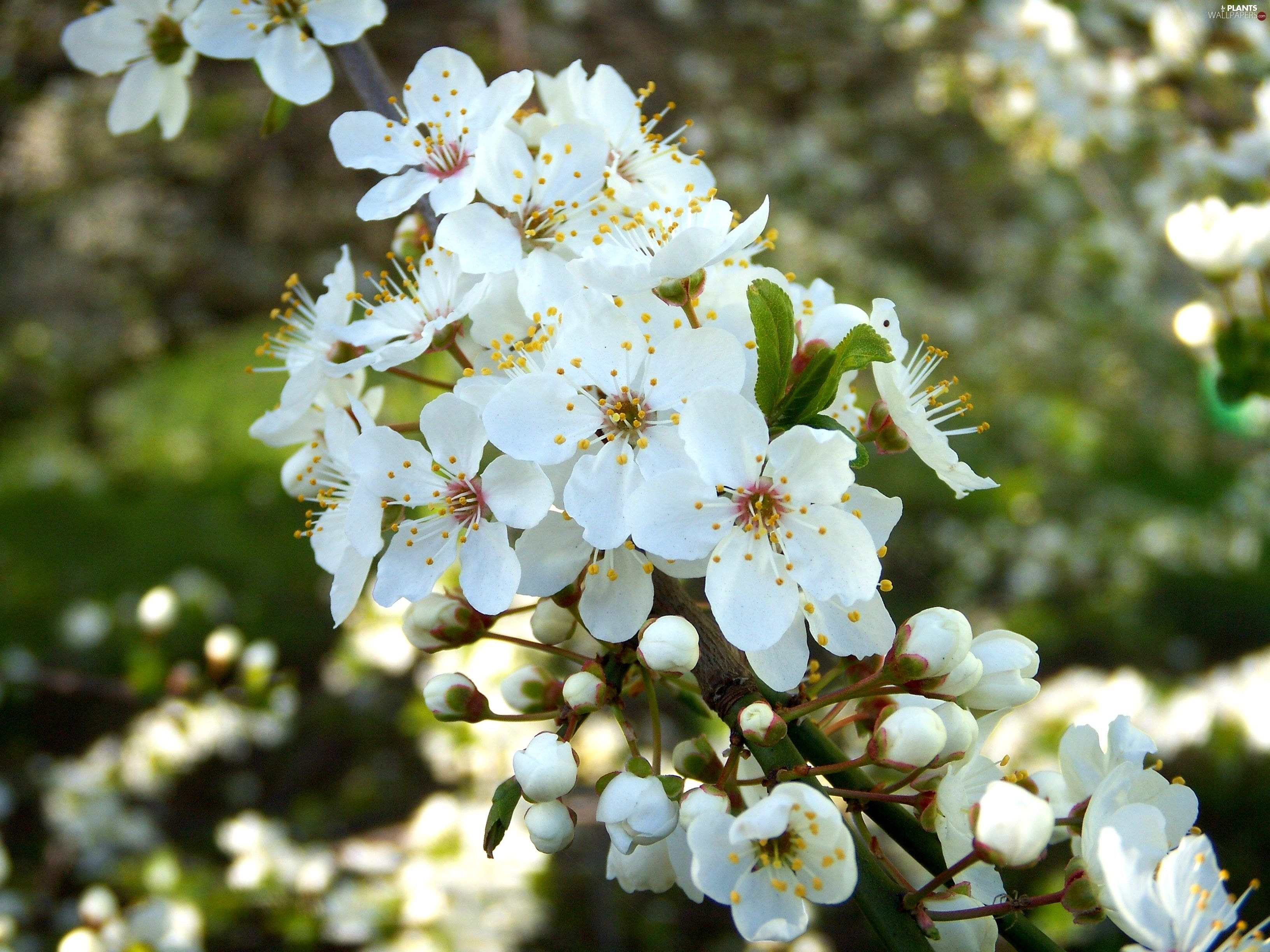 100 Tree With White Flowers That Smell Good Beautiful Flowers