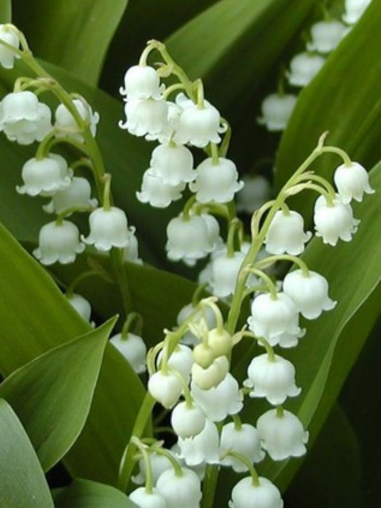 Lilly Of Valley One Of My Favourite Scents Flowers Pinterest
