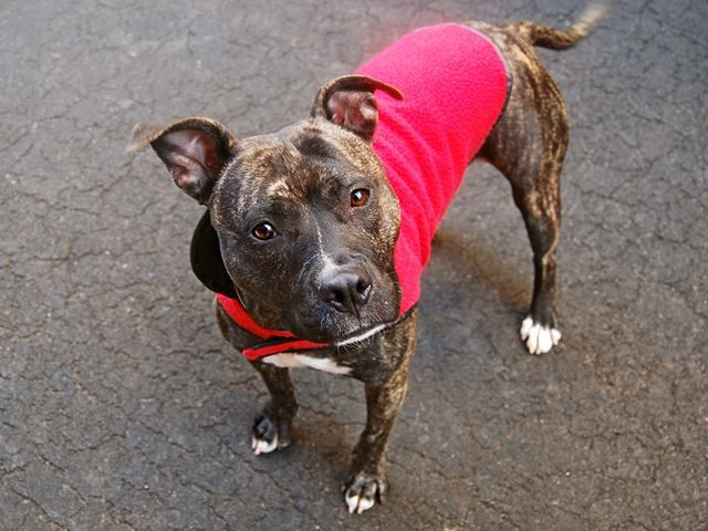 """SUPER URGENT Manhattan Center SAM aka XANADU - A1004466 *** RETURNED ON 2/24/15 - """"MOVING"""" *** SPAYED FEMALE, BL BRINDLE / WHITE, STAFFORDSHIRE / AM PIT BULL TER, 1 yr, 8 mos OWNER SUR - EVALUATE, HOLD FOR ID Reason MOVE2PRIVA Intake condition EXAM REQ Intake Date 02/24/2015 https://www.facebook.com/photo.php?fbid=969441389735407"""