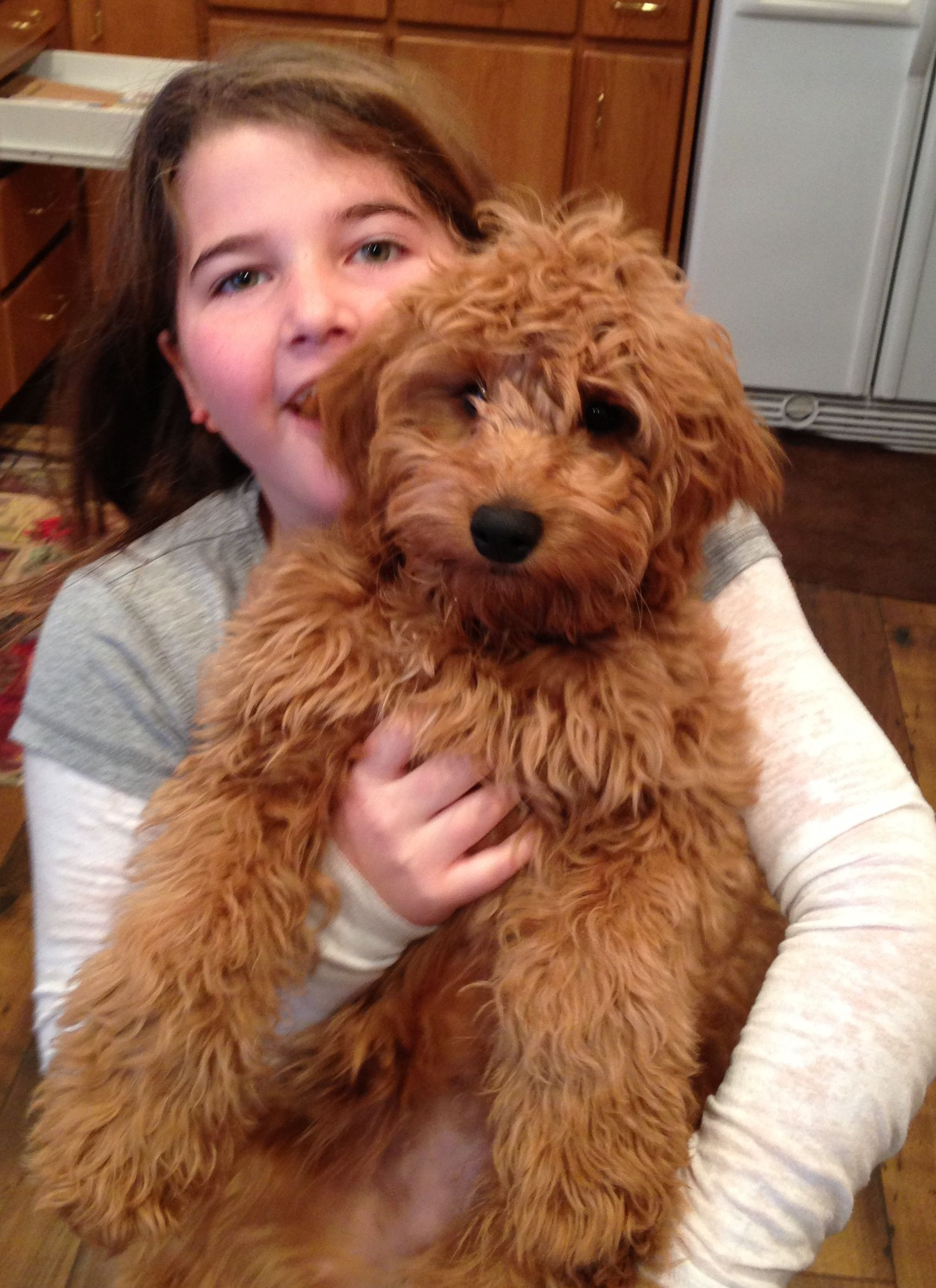 Mini Goldendoodle Fb1 Some People Call Them Teddybear