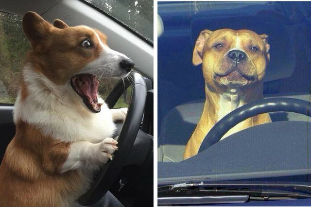 16 Reasons Why We Re Pretty Sure That Driving Dogs Not Driverless Cars Are The Future Cute Animals Dogs Animal Photo