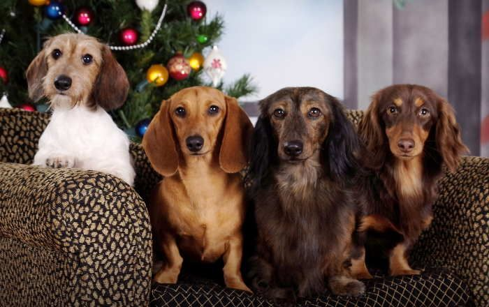 Weatherly S Miniature Dachshund Puppies Missouri Dachshund