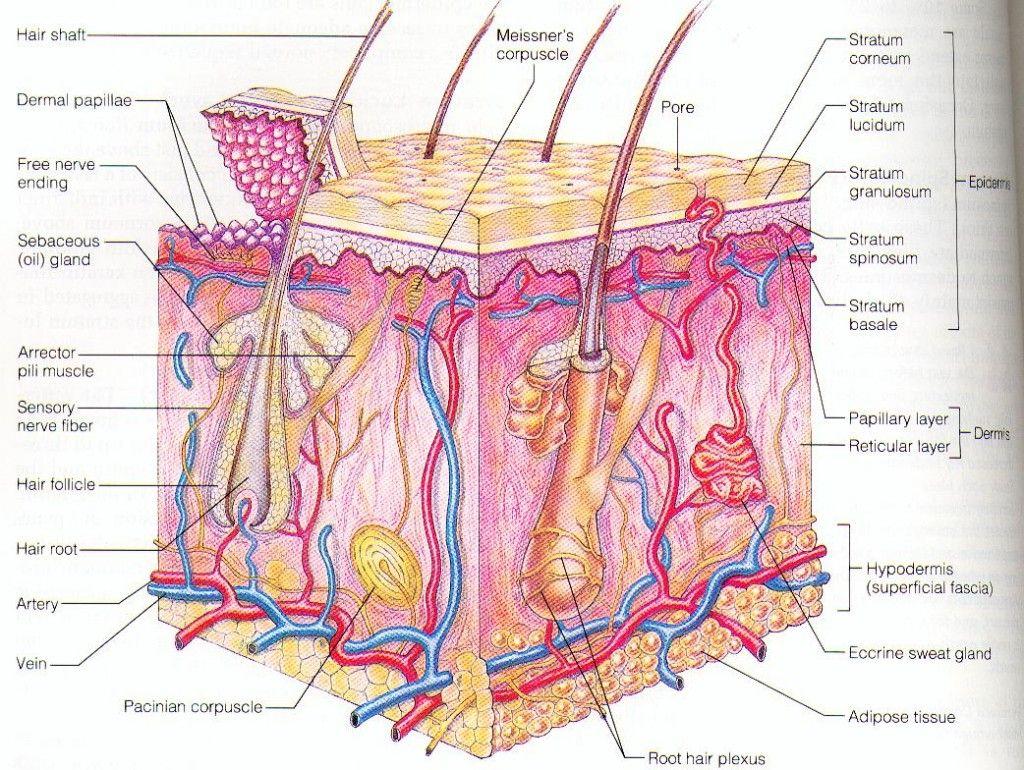 skin diagram to label - Google Search | Skin anatomy, Skin ...