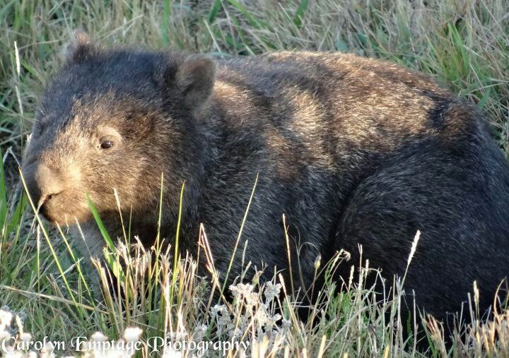Wombats are forestdwelling marsupials found only in