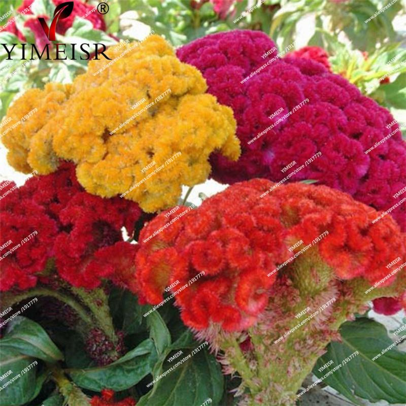 Celosia cristata Mix flower seeds Indoor balcony