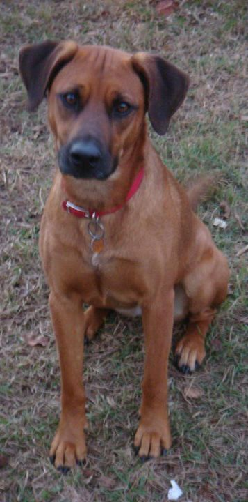 Black Red Mouth Cur Black Mouth Cur Black Mouth Cur Dog Dogs