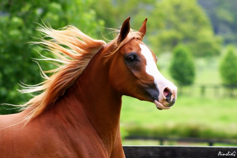 Chestnut with flaxen mane | Chestnut Horses | Pinterest - photo#10
