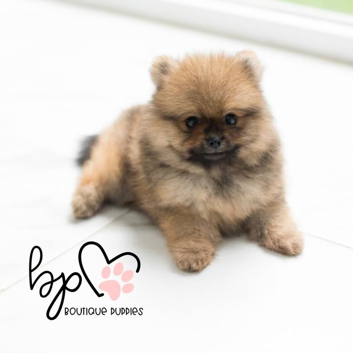 Boutique Teacup Puppies Store #cuteteacuppuppies