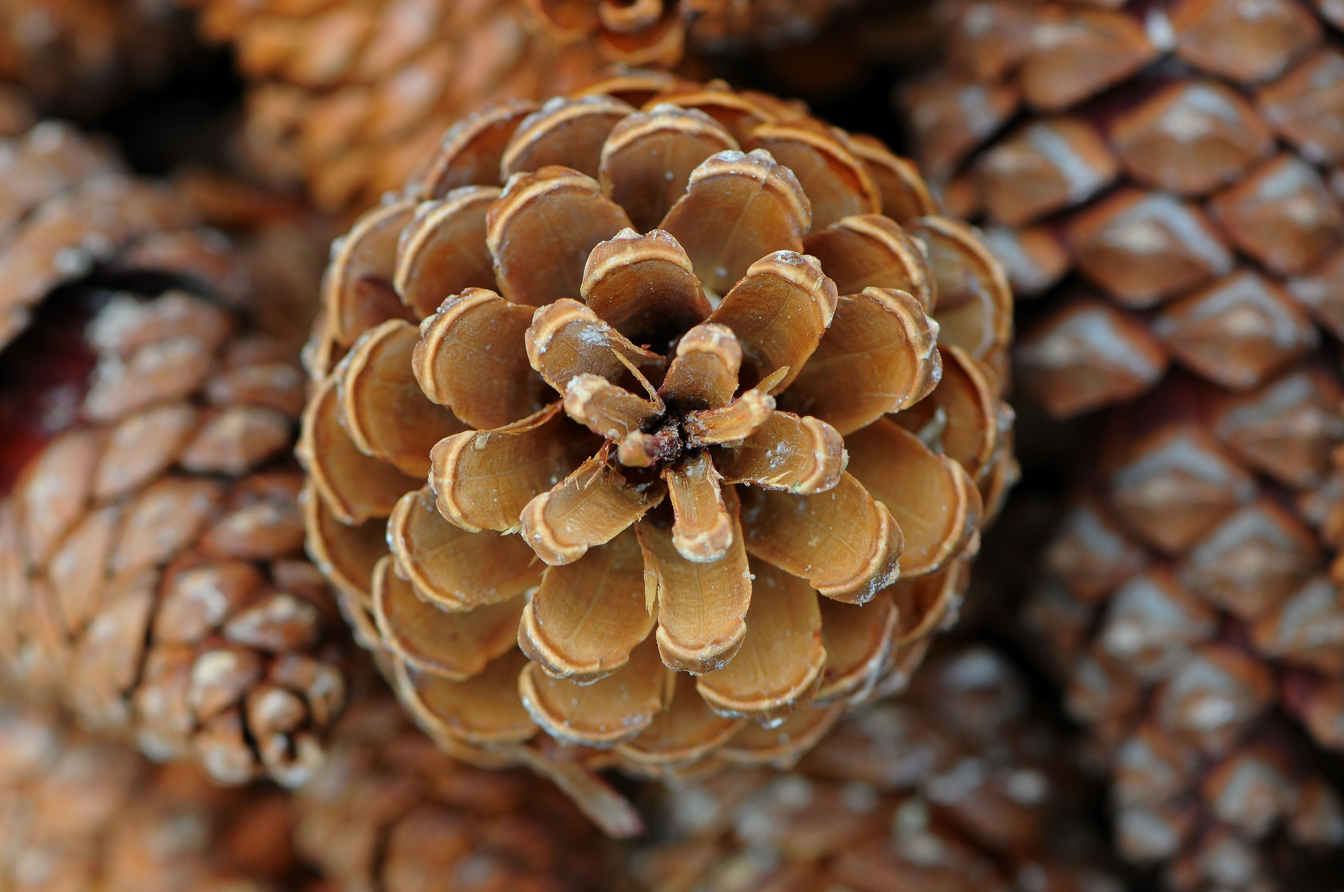 pinecones - Google Search