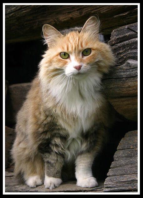 Barn Yard Cat