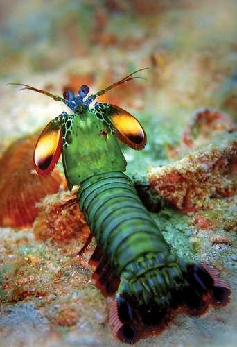 Mantis Shrimp Crustacean In 2020 Mantis Shrimp Crustaceans Shrimp