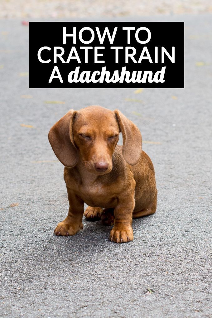 How To Crate Train A Dachshund Crate Training Training Your Dog