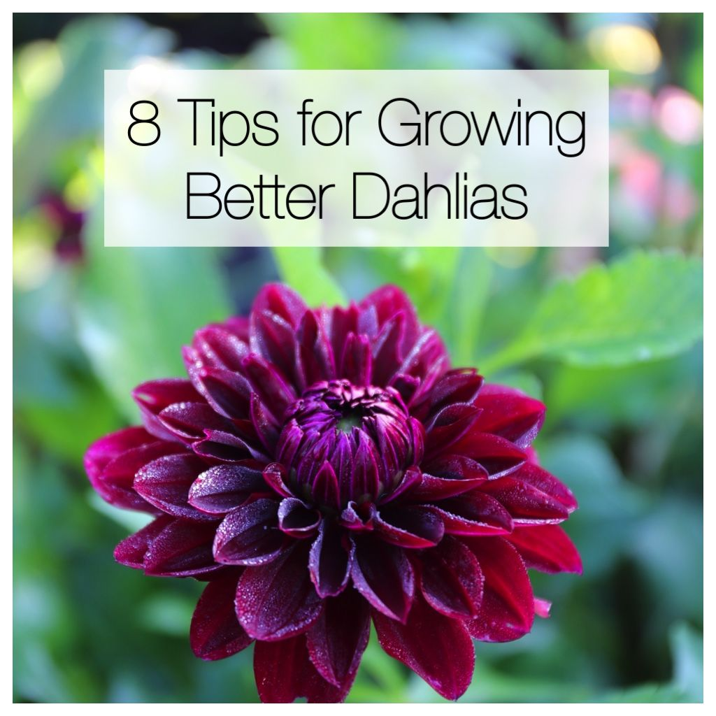 8 Tips For Growing Better Dahlias Longfield Gardens Growing Dahlias Purple Flowers Garden Longfield Gardens