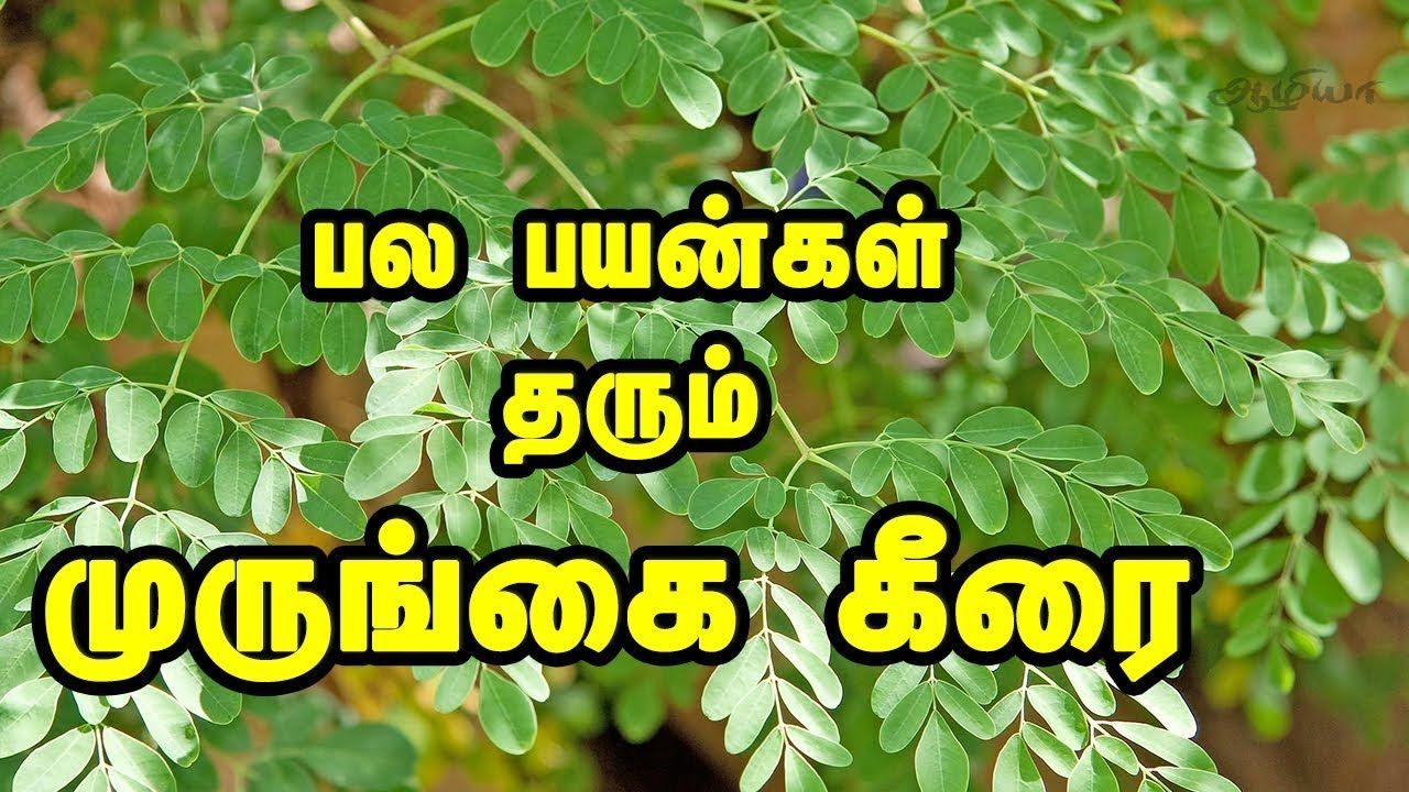 Drumstick Leaves In Tamil Moringa Leaves Moringa Leaves Moringa Drumstick Leaves Benefits