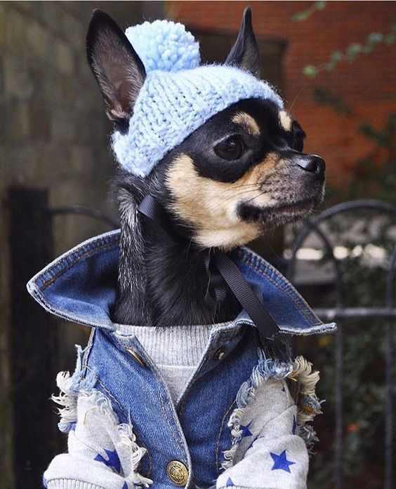 25 Dogs All Dressed Up For Dress Up Your Pets Day Dogtime Chihuahua Puppies Pet Day Chihuahua Dogs