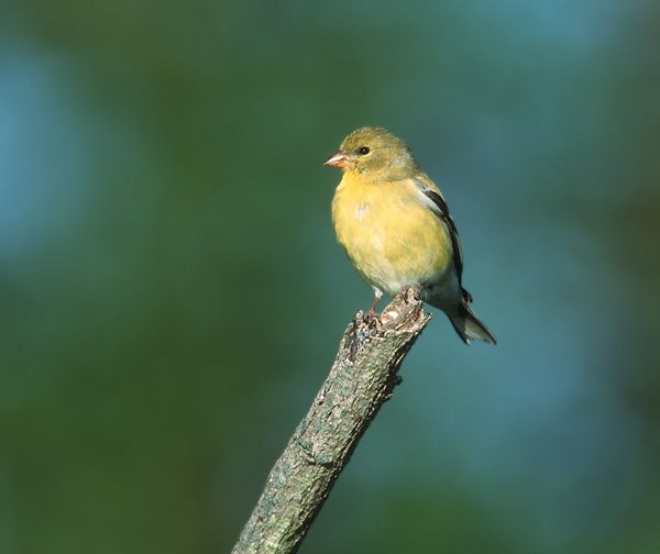 Yellow Bird With Black Wings And Tail With Deeply Undulating
