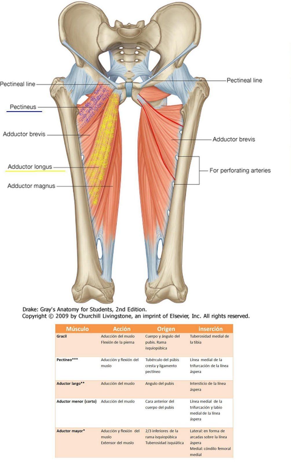 Anatomía UNAM: ADUCTORES | Miembro inferior | Pinterest | Femoral ...