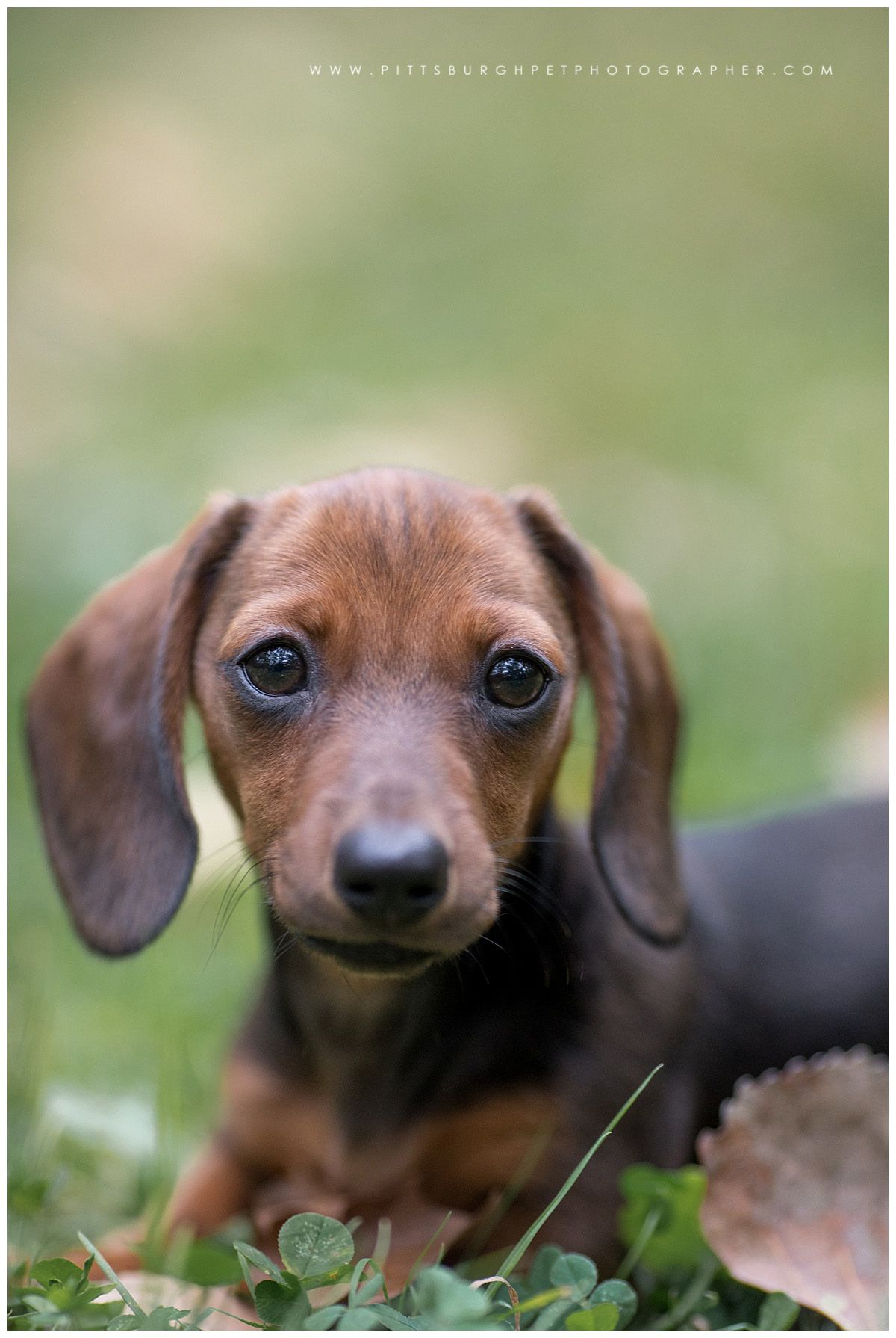 Ruby Miniature Dachshund Puppy Sewickley Pa Pittsburgh Pet Photography Paw Prints Pet Portra Pet Portraits Dachshund Puppy Miniature Dachshund Puppy