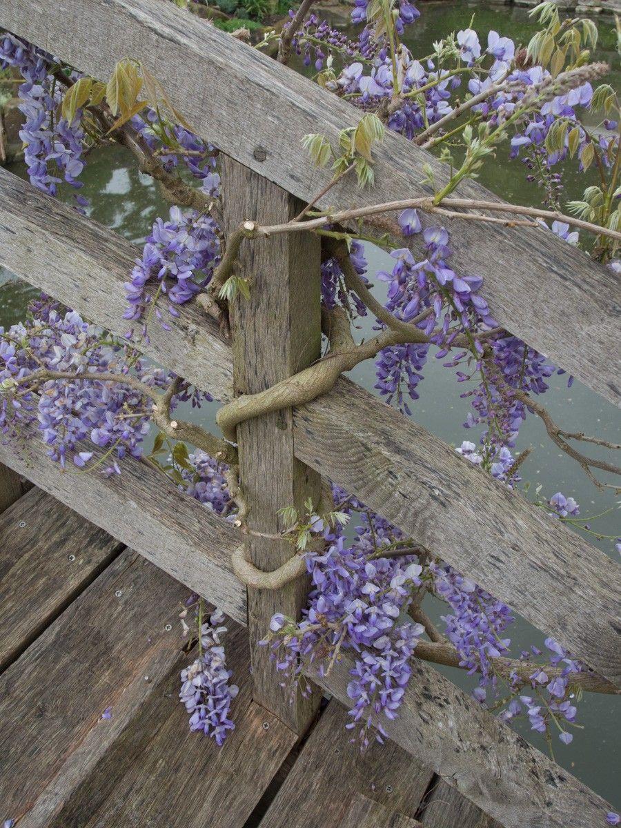 Klatreplante blåregn