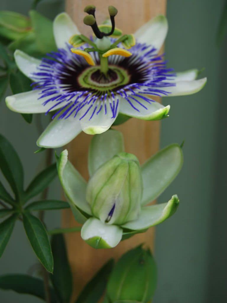Passiflora Caerulea Blue Passion Flower Pinterest Passion